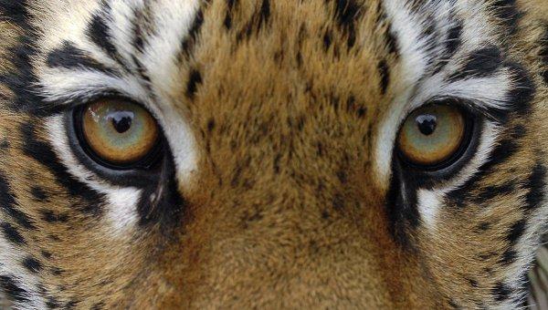 en-chine-des-criminels-detournent-la-loi-en-affamant-des-tigres-jusqua-leur-mort-afin-de-produire-du-vin1