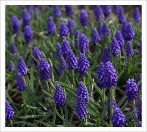 muscari_armeniacum_blue_star_0
