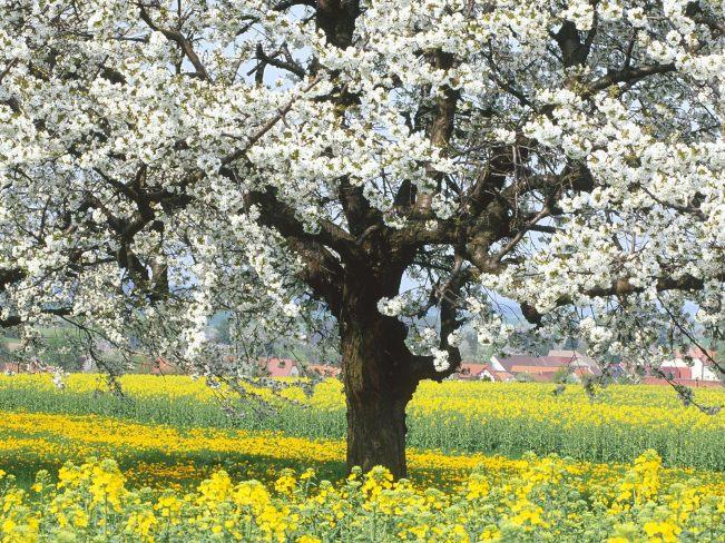 cerisier_en_fleur_en_allemagne_1600x1200