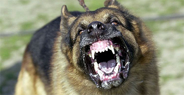 chien_agressif