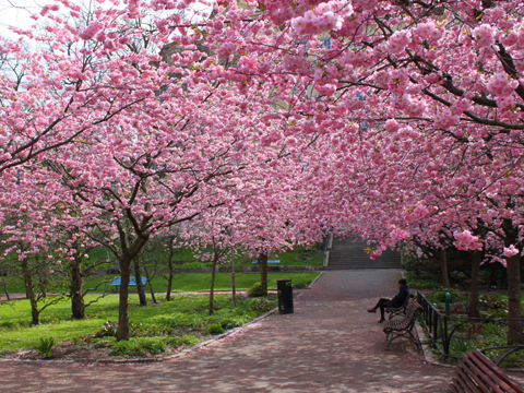 cerisier-a-fleurs-152015