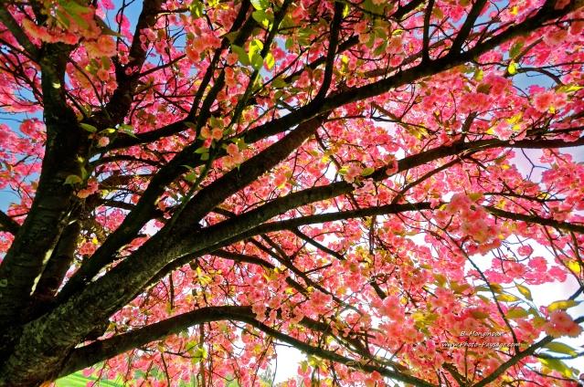 Printemps---sous-le-cerisier-en-fleurs.jpg