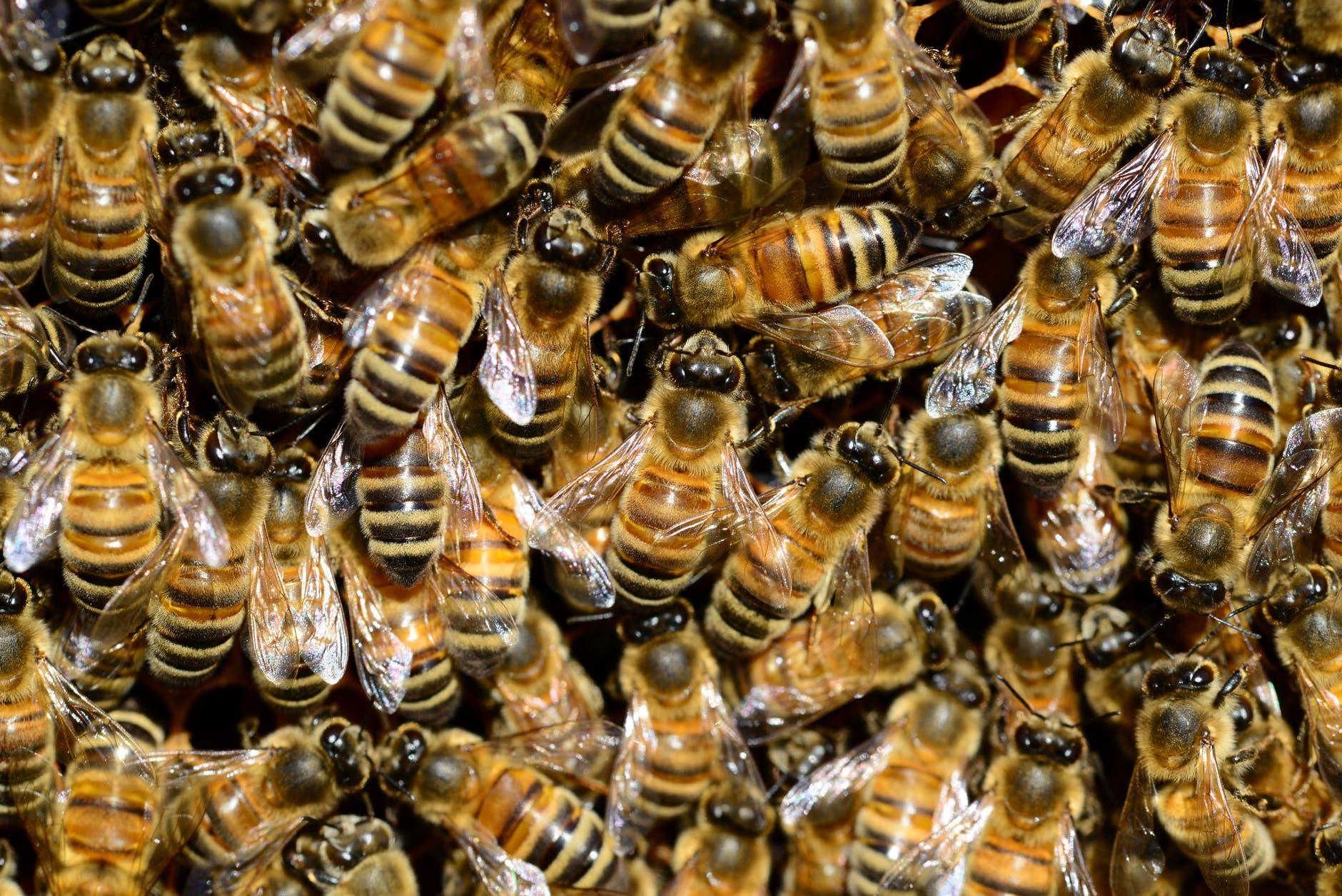 abeilles ailes animaux apiculture
